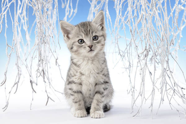 Wall Art - Photograph - Snow Kitten by MGL Meiklejohn Graphics Licensing