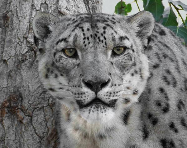 Big 5 Photograph - Snow Leopard 5 by Ernie Echols
