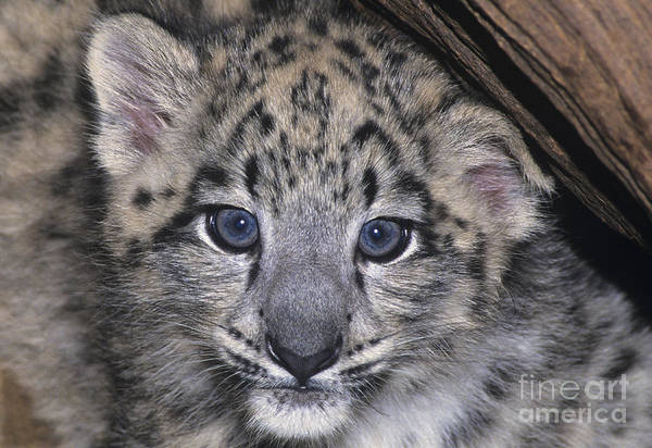 Photograph - Snow Leopard Cub Endangered by Dave Welling