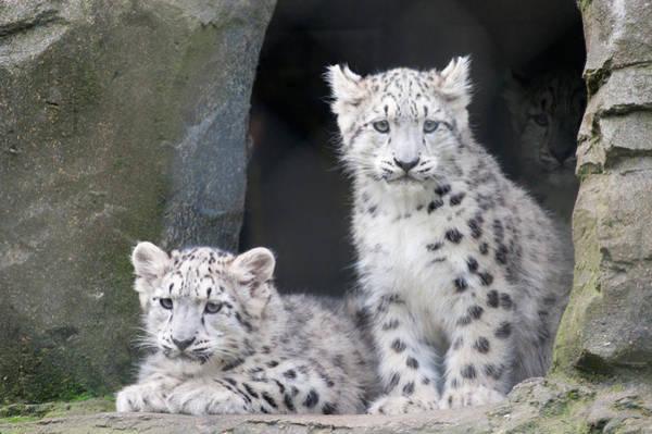Snow Leopard Wall Art - Photograph - Snow Leopard Cubs by Chris Boulton