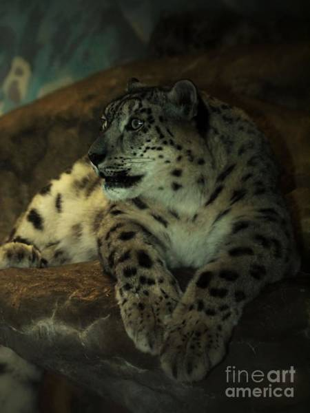 Wall Art - Photograph - Snow Leopard  by Frank Piercy
