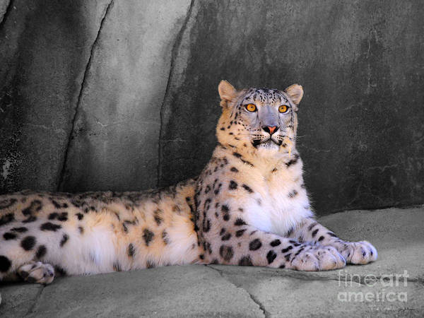 Photograph - Snow Leopard II by Jai Johnson