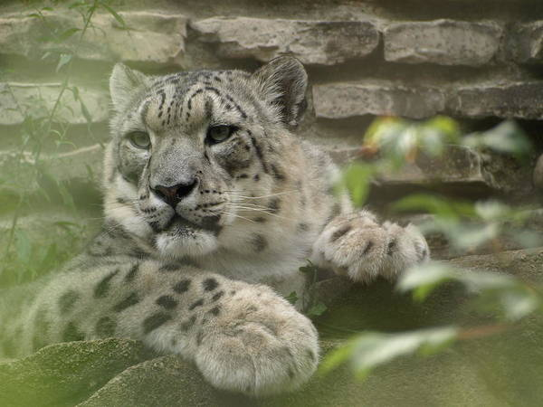 Photograph - Snow Leopard by Jeffrey Peterson