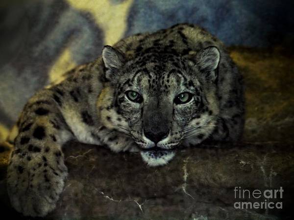 Wall Art - Photograph - Snow Leopard Lounging by Frank Piercy