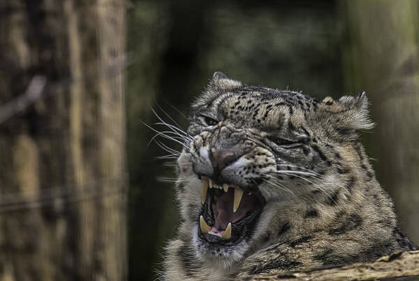 Anger Photograph - Snow Leopard by Nigel Jones