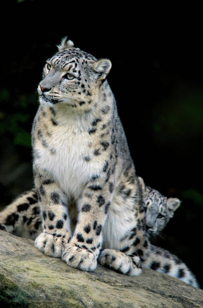 Nepal Wall Art - Photograph - Snow Leopard, Uncia Uncia, Panthera by Andres Morya Hinojosa