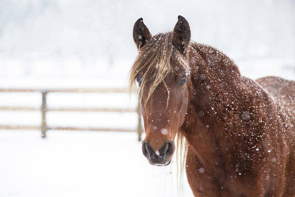 Mare Photograph - Snow Mare by J. Macneill-traylor