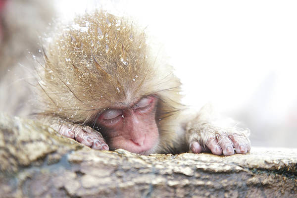 Snow Monkey Photograph - Snow Monkey 5 by Hidenori Tanaka