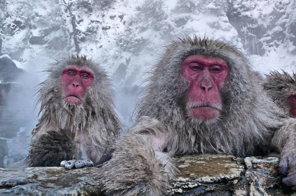 Snow Monkey Photograph - Snow Monkeys In The Hot Springs by Istvan Hernadi Photography... Mountain Visions