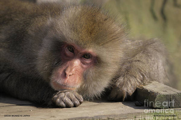 Photograph - Snow Monkeys-just Hanging Out by Robyn Saunders