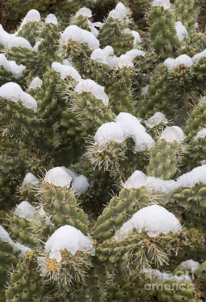 Wall Art - Photograph - Snow On Cholla Cactus by John Shaw