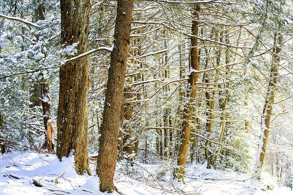 Photograph - Snow On Hemlocks by Thomas R Fletcher
