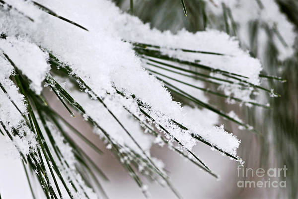 Falling Snow Wall Art - Photograph - Snow On Pine Needles by Elena Elisseeva