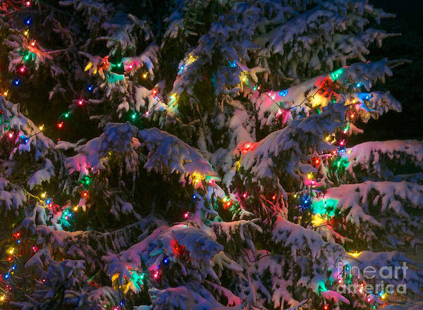 Photograph - Snow On The Christmas Tree 1 by Mark Dodd