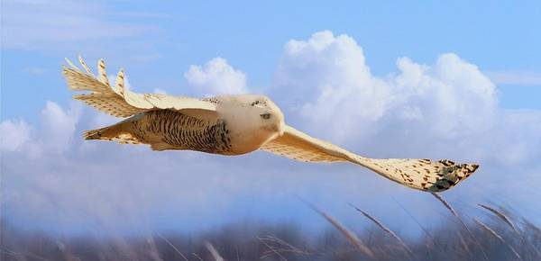 Snow Owl In Flight Art Print