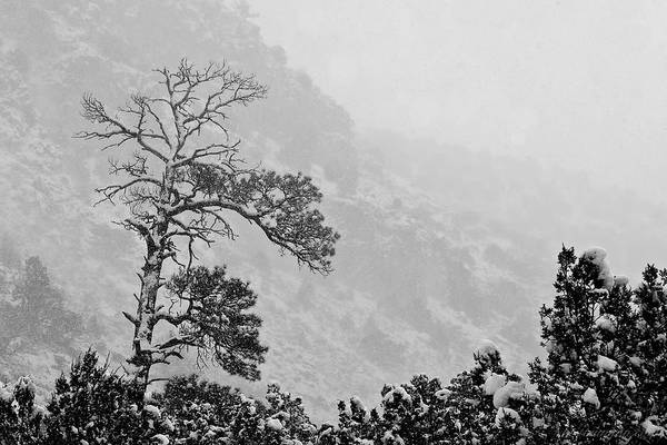 Photograph - Snow Pine by Britt Runyon