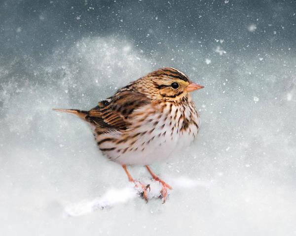 Photograph - Snow Sparrow by Jai Johnson