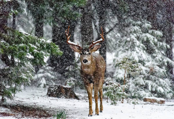 Cold Weather Wall Art - Photograph - Snow Storm And The Buck Deer by Majestic Moments Photography,