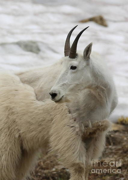 Photograph - Snow White Mountain Goat by Carol Groenen