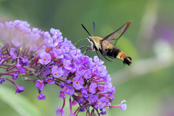 Butterfly Bush Wall Art - Photograph - Snowberry Clearwing On Butterfly Bush by Richard and Susan Day