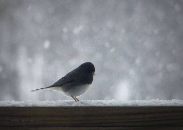 Photograph - Snowbird Gets His Wish by Cricket Hackmann