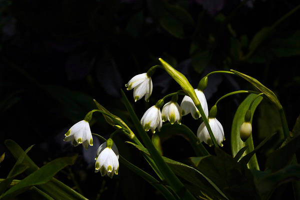 Photograph - Snowdrops And Dark Background by Byron Varvarigos