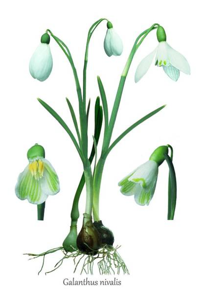 Snowdrops Wall Art - Photograph - Snowdrops (galanthus Nivalis) by Archie Young/science Photo Library