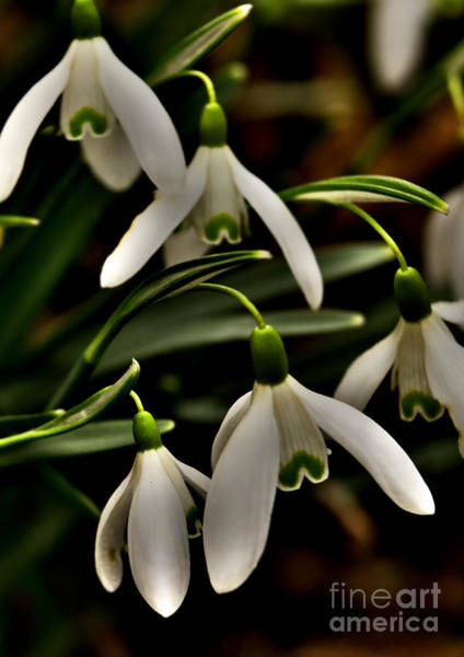 Photograph - Snowdrops by Martyn Arnold
