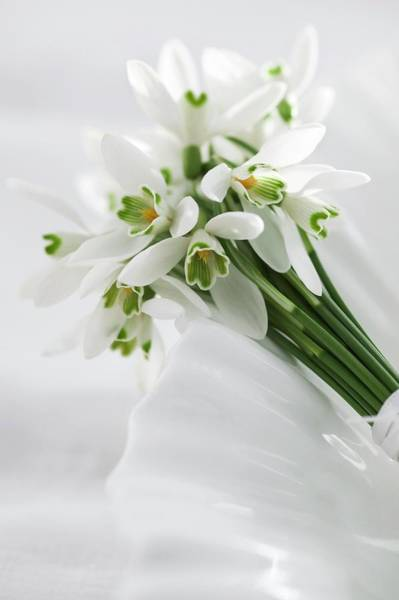 Posies Photograph - Snowdrops Tied With A Ribbon by Gustoimages/science Photo Library
