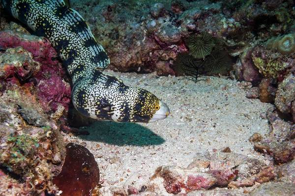 Eels Photograph - Snowflake Moray Eel by Georgette Douwma/science Photo Library