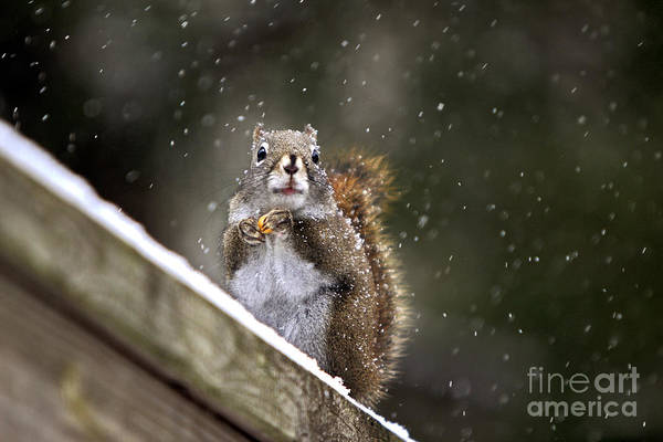 Photograph - Snowflake Squirrel by Karin Pinkham