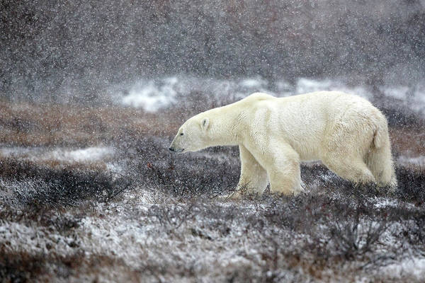 Polar Bear Photograph - Snowing Time by Alessandro Catta