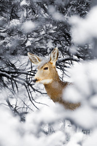 Photograph - Snowstorm Doe by Steve Krull
