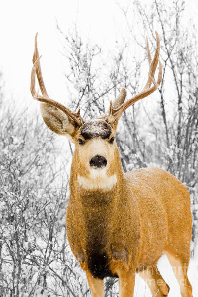Photograph - Snowstorm Stag by Steve Krull