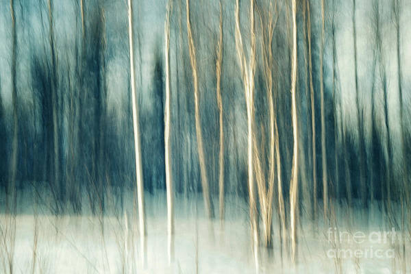 Wall Art - Photograph - Snowy Birch Grove by Priska Wettstein