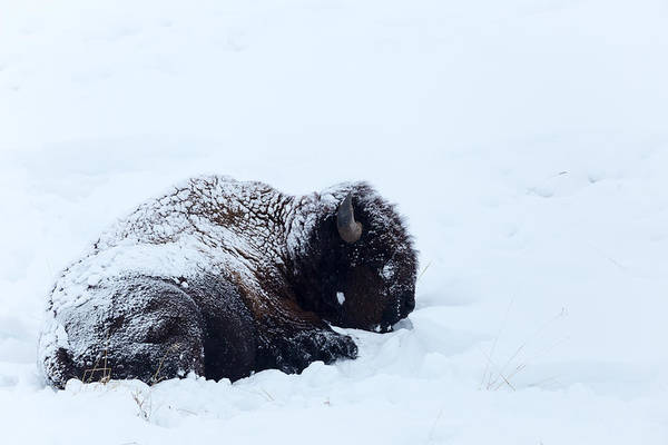 Photograph - Snowy Bison by Michael Chatt