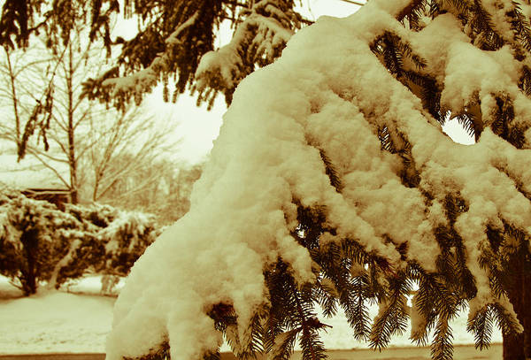Wall Art - Photograph - Snowy Branch by Nickaleen Neff
