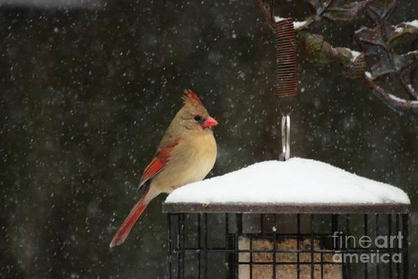 Female Cardinal Photograph - Snowy Cardinal by Benanne Stiens