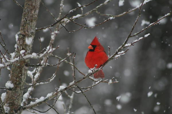 Nc State Wall Art - Photograph - Christmas Snowy Cardinal by Beth Andersen