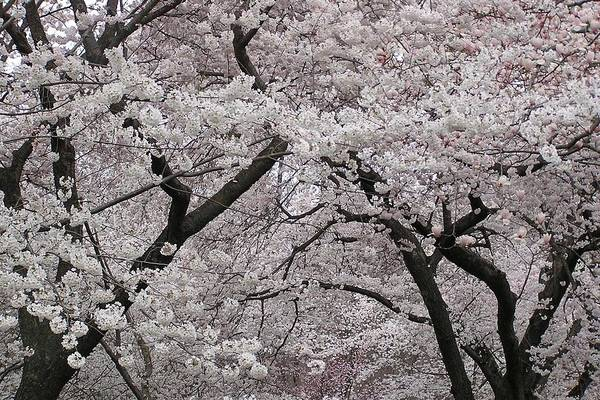 Dumbarton Wall Art - Photograph - Snowy Cherry Tree Blossoms by Julie Grandfield