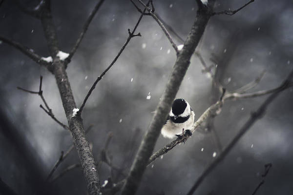 Chickadees Photograph - Snowy Chickadee by Shane Holsclaw