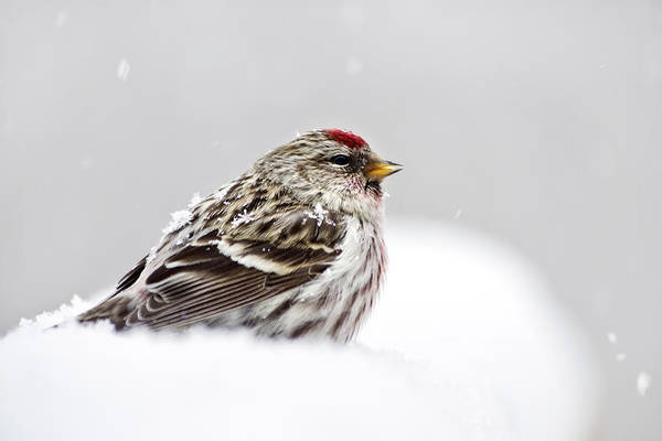 Photograph - Snowy Common Redpoll by Christina Rollo