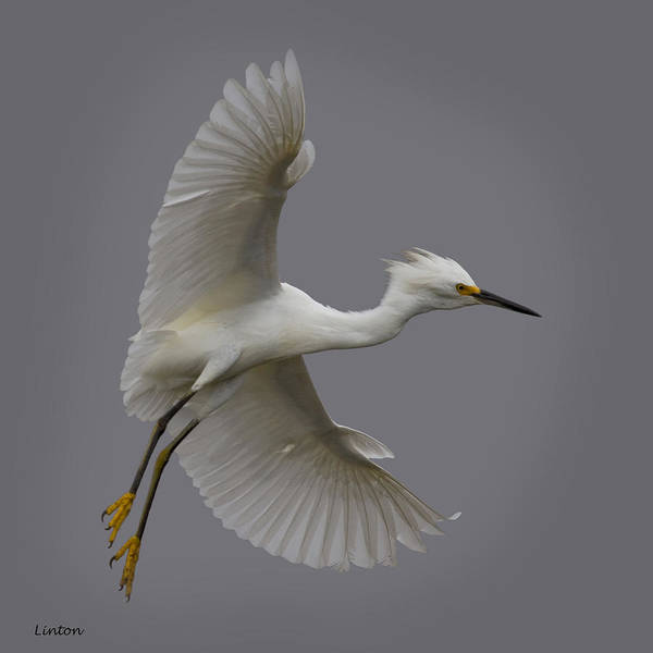 Photograph - Snowy Egret 2 by Larry Linton