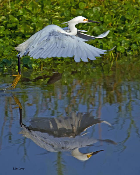 Photograph - Snowy Egret 3 by Larry Linton