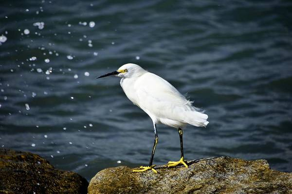 Photograph - snowy Egret by Bill Hosford