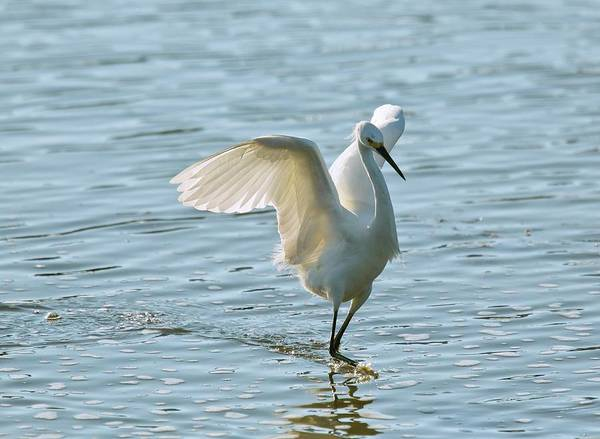 Wall Art - Photograph - Snowy Egret by Bob Gibbons/science Photo Library