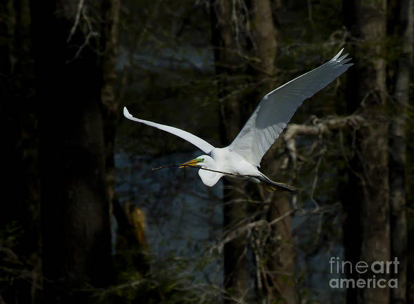 Coosa River Photograph - Snowy Egret Building Nest  #5199 by J L Woody Wooden
