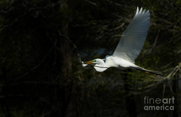 Coosa River Photograph - Snowy Egret Building Nest   #5201 by J L Woody Wooden