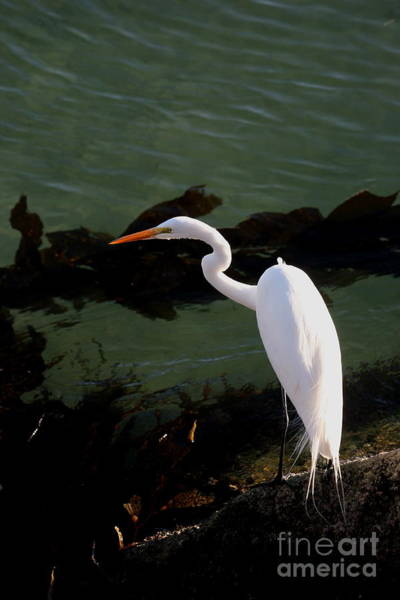 Photograph - Great Egret Monterey Bay California  By Pat Hathaway by California Views Archives Mr Pat Hathaway Archives