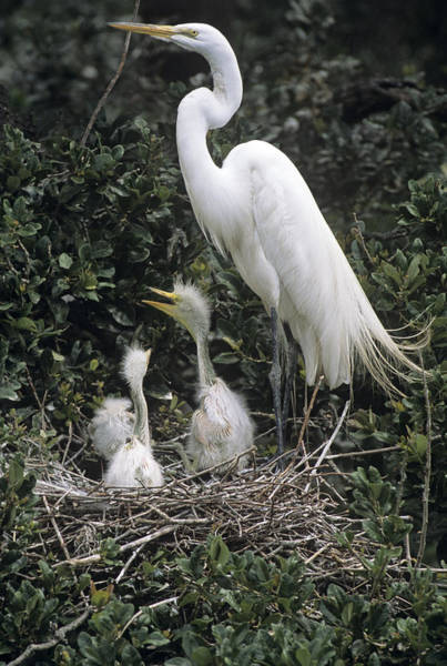 Snowy Egret Photograph - Snowy Egret Feeding Chicks by Sally Mccrae Kuyper/science Photo Library